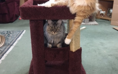 Build a Grouping with our Cat Coliseum Cat Trees